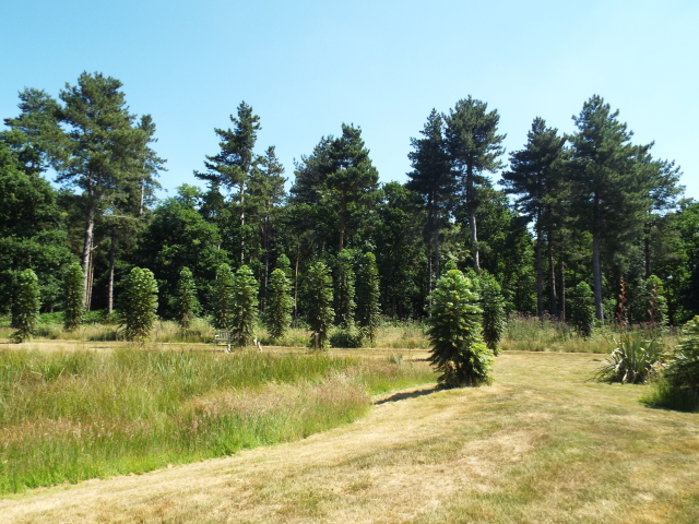 Planting of Wollemi Pines, Gondwanaland – Marks Hall, Essex